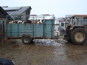 Chronisch kranke Kühe sollten den Bestand verlassen