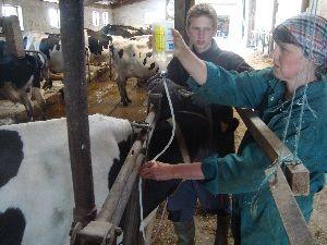 Infusion von Invertzucker bei einer Kuh mit Klinischer Ketose
