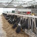 Das Fütterungsmanagement hat großen Einfluss auf die Stoffwechselgesundheit