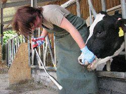 Eingabe eine Klazium -Bolus zur Milchfieberprophylaxe (Quelle: Mahlkow-Nerge)