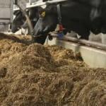 Hochleistende Kühe sind anfällig für SARA
