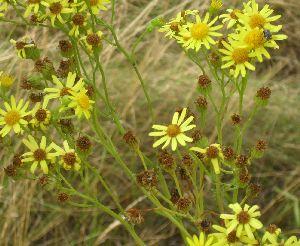 Jakobskreuzkraut: Hübsch gelb, aber giftig