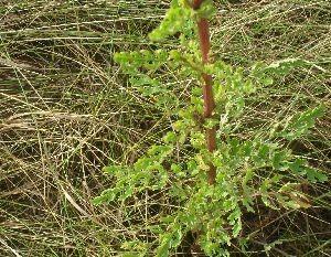 Stengel und Blätter