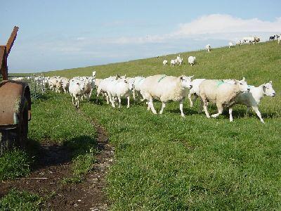Schafe sind empfänglich für Q-Fieber und können eine Ansteckungsquelle sein
