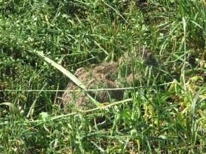 Kaninchen im Gras kurz vor dem Schnitt