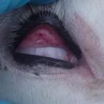 Bltungen in der Lidbindehaut (BVD 2)