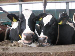 Nur Kühe, die sich wohl fühlen, können optimale Leistungen bringen.