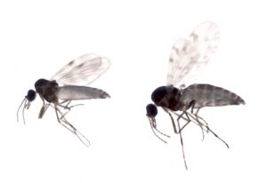 Culicoides.C.obsoletus.pulicaris
